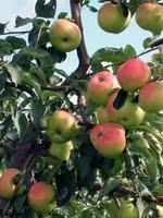 Prairie Sensation Apple