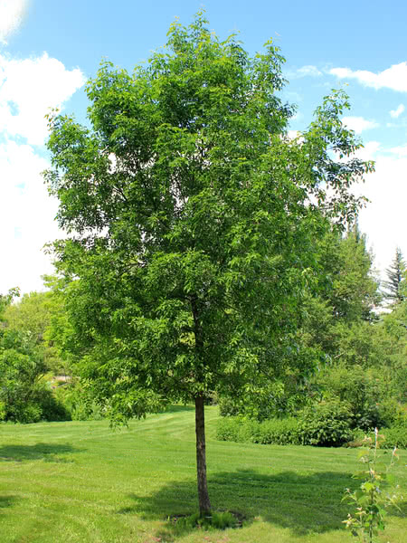 Green Ash for sale - TreeTime.ca