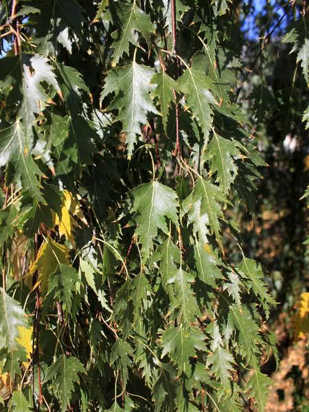 Cutleaf Weeping Birch For Sale Treetime Ca
