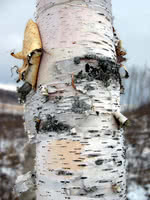 White Birch (Paper Birch)