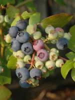 Patriot Blueberry