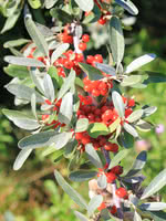 Silver Buffaloberry