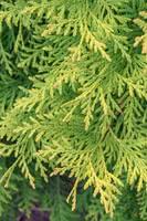 Eastern White Cedar (Arborvitae)