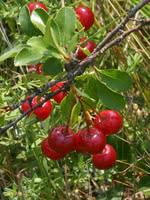 Mongolian Cherry