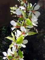 Nanking Cherry - 2 Year Old