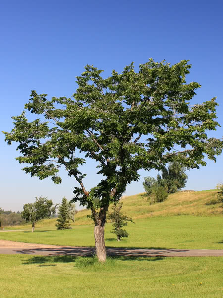 american elm for sale