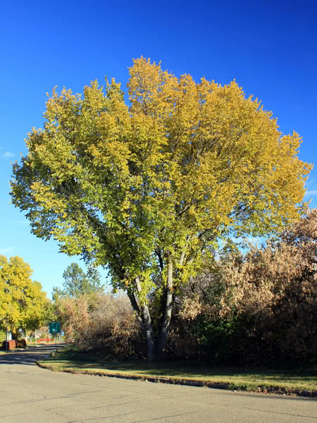 Streets Of Willow >> American Elm for sale - TreeTime.ca