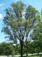 Asiatic Elm