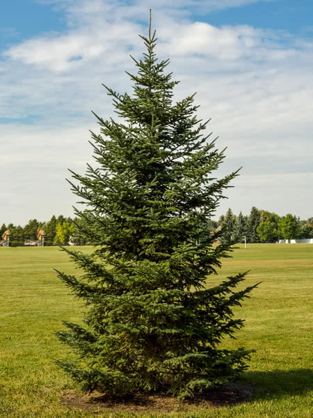 Christmas Trees Seedlings