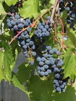 Frontenac Grape