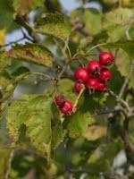 Round Leaf Hawthorn