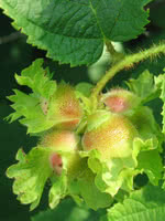 American Hazelnut/Filbert