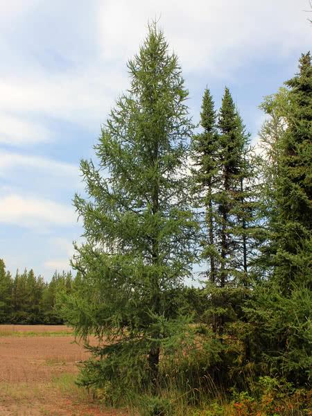 Tamarack For Sale Treetime Ca