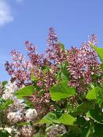 Manchurian Lilac (Korean Lilac)