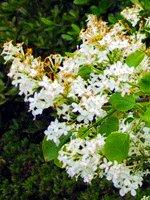 Peking Lilac