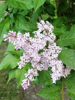 Late Lilac