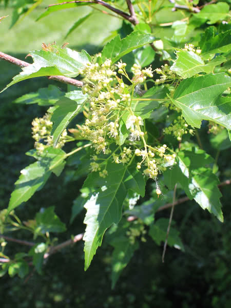 Amur Maple For Sale Treetime Ca