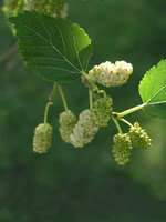 Russian White Mulberry
