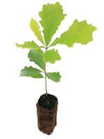 Bur Oak - 1 Year Old Bareroot