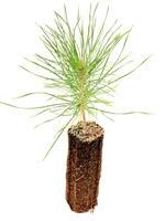 Austrian Pine - 1 Year Old