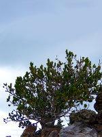 Colorado Bristlecone Pine