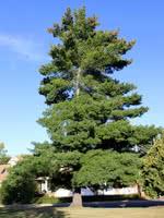Weymouth Pine