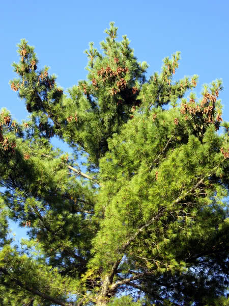 Eastern white pine for sale treetime