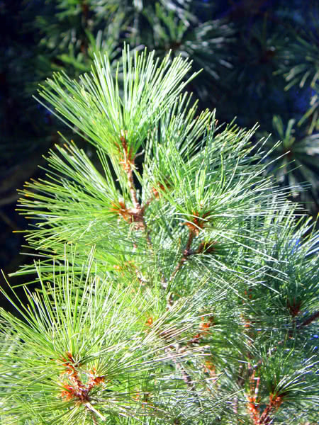 eastern white pine for sale