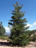 Rocky Mountain White Pine