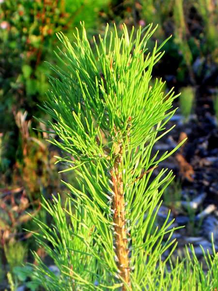 Lodgepole Pine for sale - TreeTime.ca