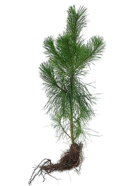 Lodgepole pine for sale for Tree sapling