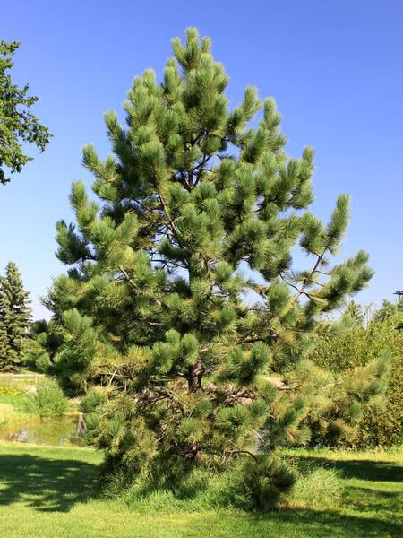 Ponderosa Pine For Sale Treetime Ca