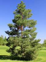 Scots Pine (Scotch Pine)