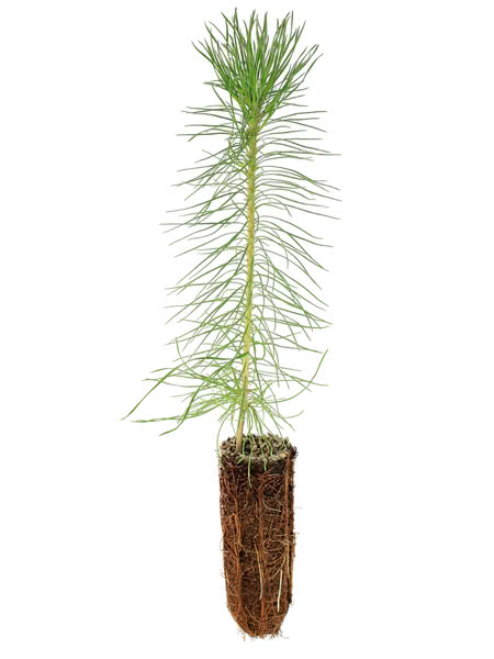 Scots Pine (Scotch Pine) for Sale - TreeTime ca