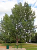 Assiniboine Poplar