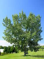 Eastern Balsam Poplar