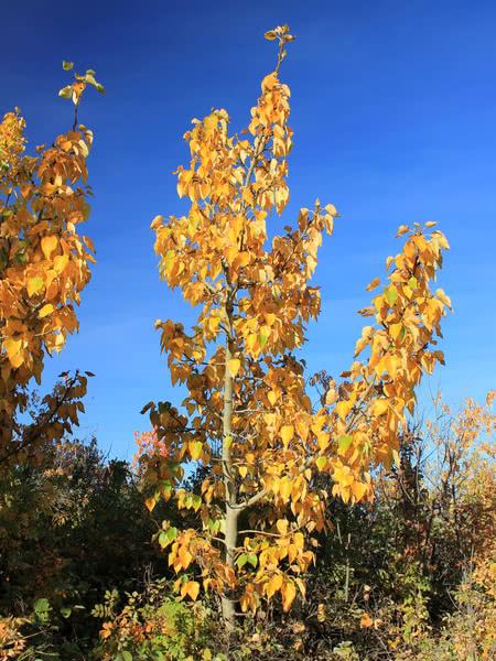 balsam poplar for sale