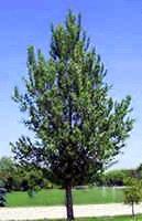 Hill Poplar