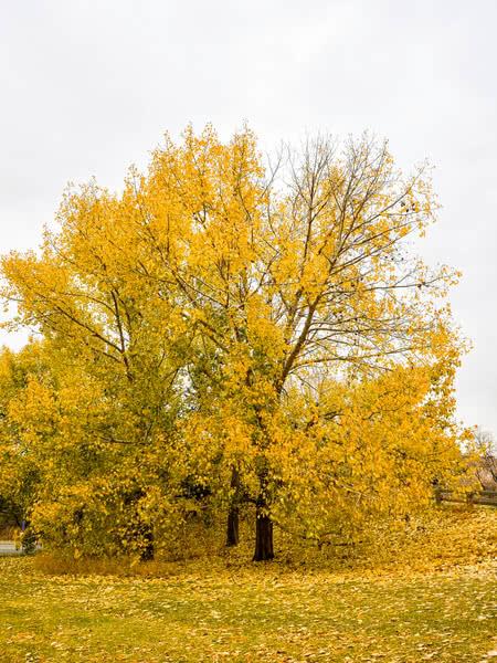 Northwest Poplar For Sale Treetime Ca