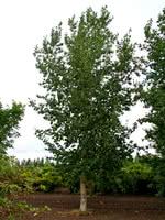 Okanese Poplar