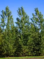 Prairie Sky Poplar