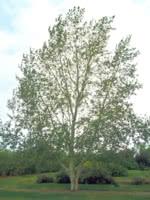Tristis Poplar