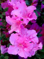 Rosy Lights Rhododendron (Azalea)