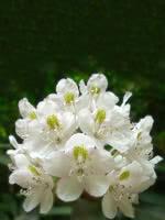 White Lights Rhododendron (Azalea)