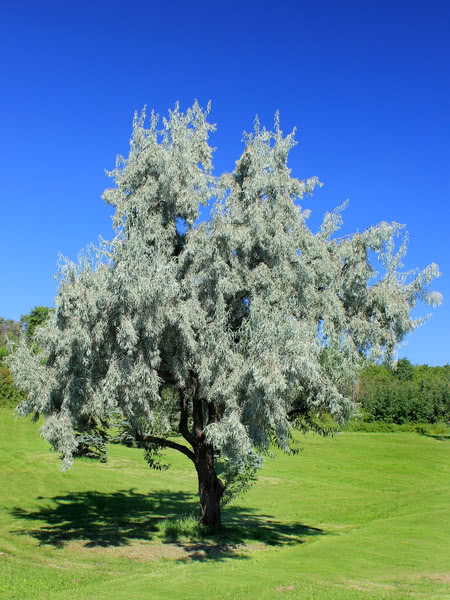 Russian Olive For Sale Treetime Ca