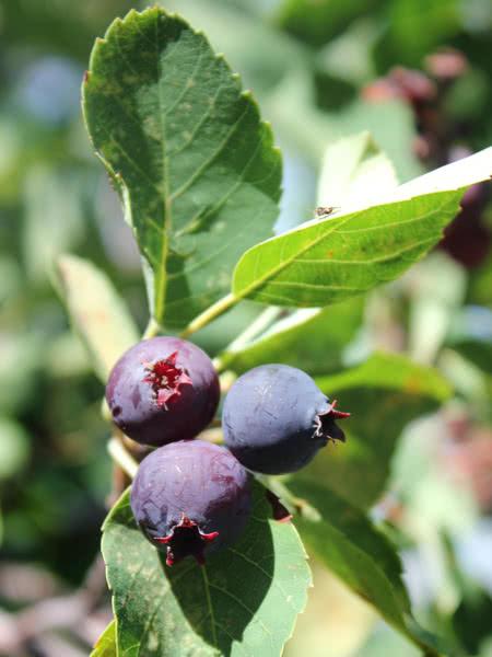 Northline Saskatoon Serviceberry For Sale Treetime Ca