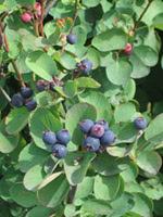Common Saskatoon (Serviceberry)