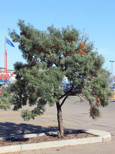 Sea Buckthorn For Sale Treetime Ca