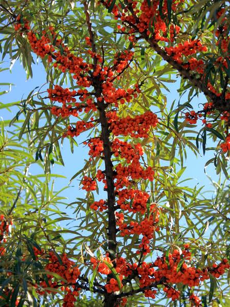 Sea Buckthorn Seaberry For Sale Treetime Ca