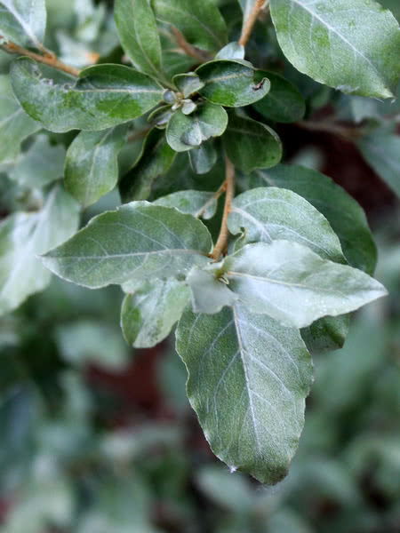 Silverberry Wolf Willow For Sale Treetime Ca